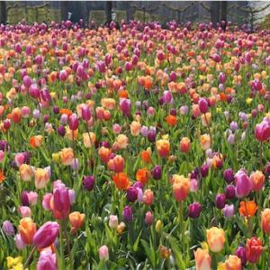 オランダ旅行!5日目-Keukenhof-チューリップが咲くキューケンホフ公園!