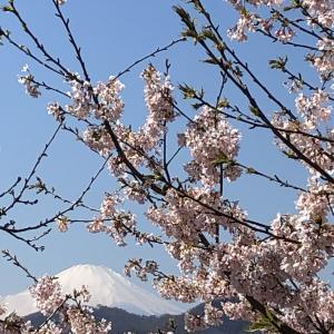 富士山と桜です!