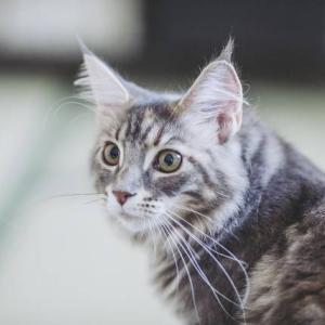 【房毛・リンクスティップ】知らなかった!猫の耳先の毛の役割