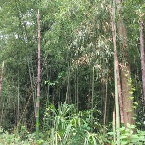 竹の子(2回目)