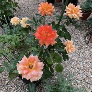 バラの二番花が続々開花