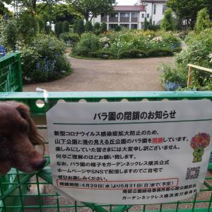 港の見える丘公園の薔薇園は閉鎖中「ペパーミントの日」 ガーデンネックレス横浜2020/5/5-5
