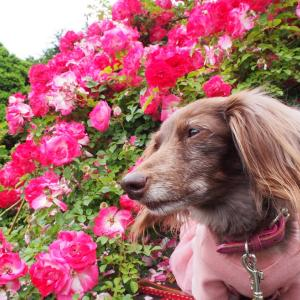 薔薇とガーデンベアちゃん ガーデンネックレス横浜2021-54