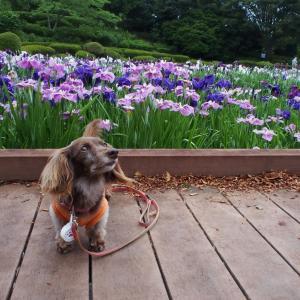 花菖蒲が満開でした 2度目の相模原公園-1