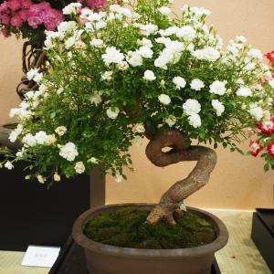 薔薇の盆栽 ガーデンネックレス横浜2021-59