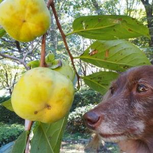 都筑民家園、柿の実が大きくなってきていました