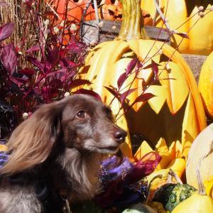 かぼちゃの山 イングリッシュガーデンのハロウィン装飾2021-4