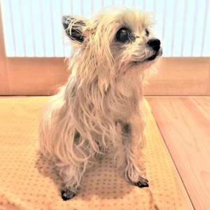 我が家のもうひとり ・・・ 老犬ヨーキー ~ 木と土の家の恩恵を最大限受ける犬の目線