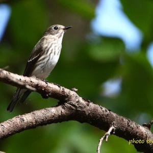 公園に立ち寄ったエゾビタキ Grey-streaked Flycatcher