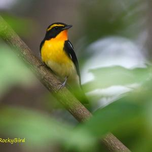 渡り途中のキビタキ Narcissus Flycatcher