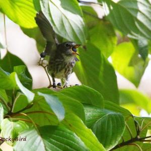 ミズキの実を頬張るエゾビタキ Grey-streaked Flycatcher