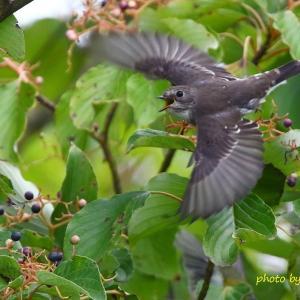 飛び出し / エゾビタキ Grey-streaked Flycatcher