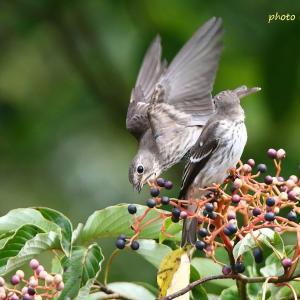 ツーショット / エゾビタキ Grey-streaked Flycatcher