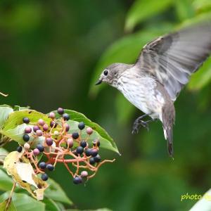 飛びつき / エゾビタキ Grey-streaked Flycatcher