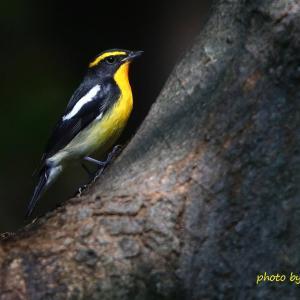 樹洞 / キビタキ Narcissus Flycatcher