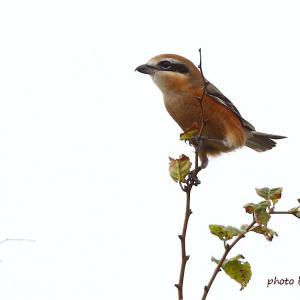 モズ Bull-headed Shrike