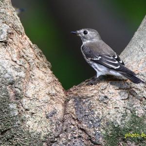 樹洞に来たエゾビタキ Grey-streaked Flycatcher