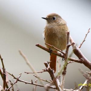 庭に来たお嬢 Daurian Redstart