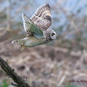 飛び出し / コミミズク Short-eared Owl
