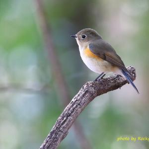 ルリビタキ Red-flanked Bluetail