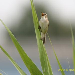 コヨシキリ Black-browed Reed Warbler