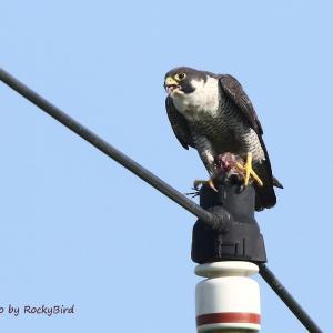 ハヤブサ Peregrine Falcon
