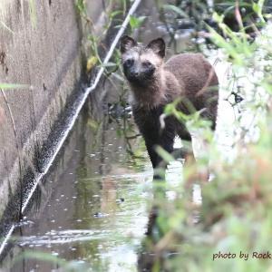 タヌキ Raccoon Dog