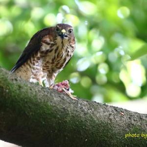 餌を食べる幼鳥 / ツミ