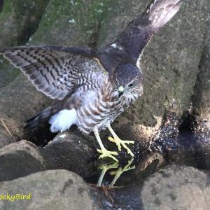 水溜まりで警戒する / ツミ幼鳥