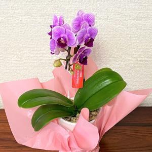 胡蝶蘭は花持ちがよく育てやすいので贈答におすすめ!