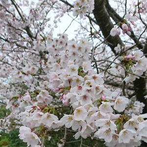 花が散り、葉桜を待つ。