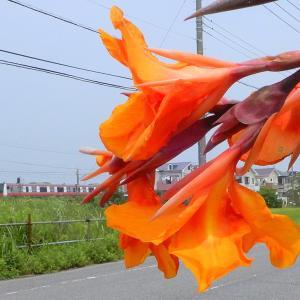 オレンジ色カンナとE233系京葉快速