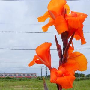 オレンジ色カンナと209系京葉快速