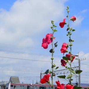 赤いタチアオイとE233系京葉快速