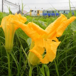 カボチャの花とE257系特急わかしお