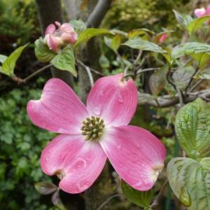 花水木もガンバル