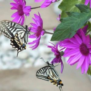 庭にアゲハ蝶