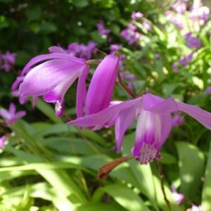 紫蘭の乱舞