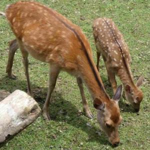 奈良の「鹿苑」にて ②