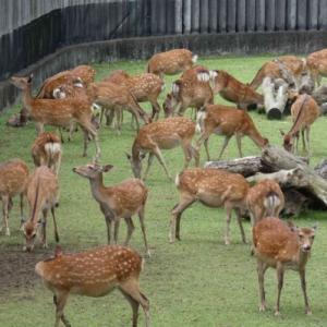 奈良の「鹿苑」にて ③