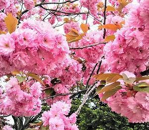 5月16日(土) 桜の花を食す