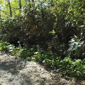 5月30日(土) 根曲がり竹の採取