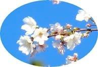 小さな名所 数本の冬桜