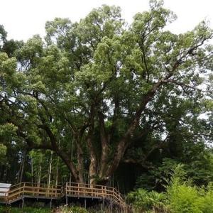 巨木を思い出すといやされます