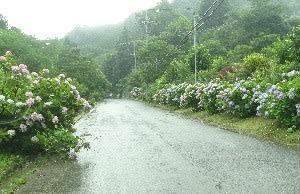 小雨の中あじさい街道が満開