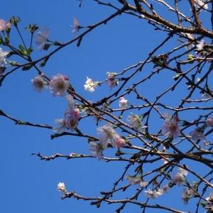 秋も深まり十月桜も散りかけています