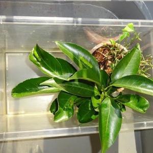この夏最後のアゲハチョウの幼虫飼育しています