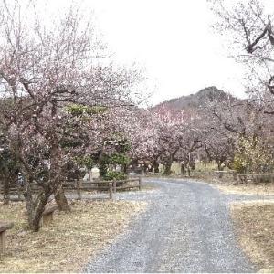 関東三大梅林・越生の梅を漬けました