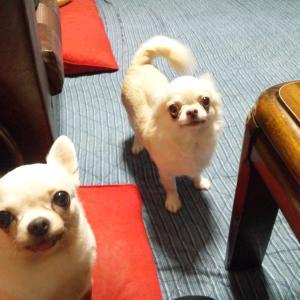 今日の桜子とブブ「食欲旺盛」 ぬか床のぬか足してみました~^^