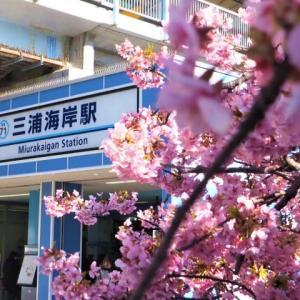 三浦海岸の河津桜!★三浦海岸駅編★